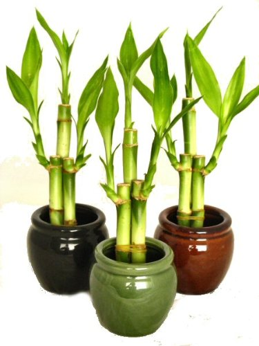Mini Bamboo Plant : Coffee consumers kl design import colors bamboo