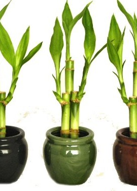 KL-Design-Import-3-Colors-Bamboo-Style-Mini-Ceramic-Vases-and-total-9-Stalks-of-Lucky-Bamboo-0